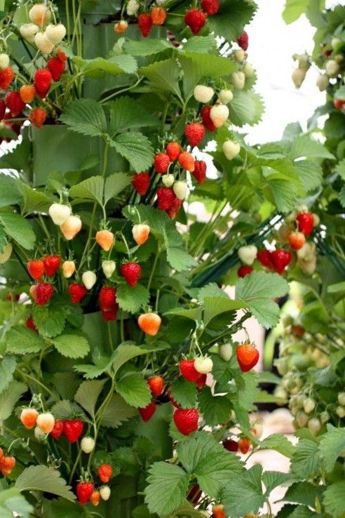Strawberry Garden Ideas container gardening of strawberry decoration with cream container garden ideas and foliages of strawberry plantation Vertical Strawberries At The Chelsea Garden Show Next Year I Think Well Add