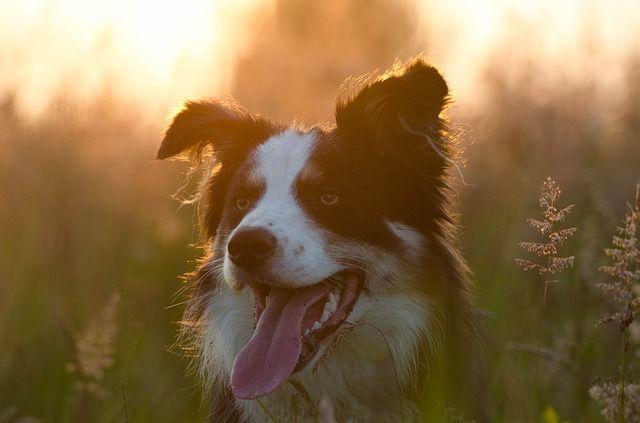 Free Image On Pixabay Border Collie Summer Sunset Australian Shepherd Border Collie Collie