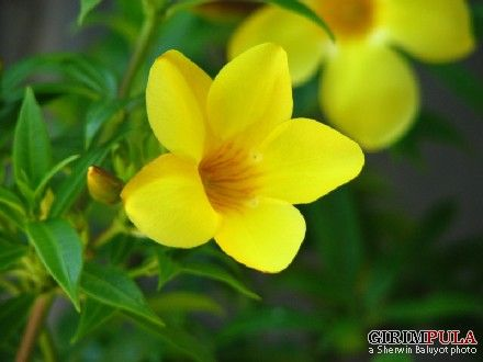 Yellow bell flower allamanda treewant for the home yellow bell flower allamanda treewant mightylinksfo