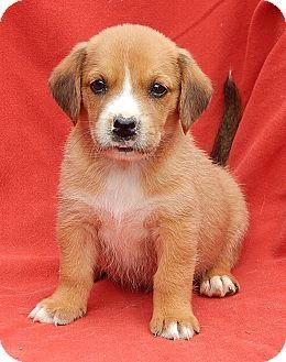 Williamsport Md Golden Retriever Beagle Mix Meet Abella 3 5