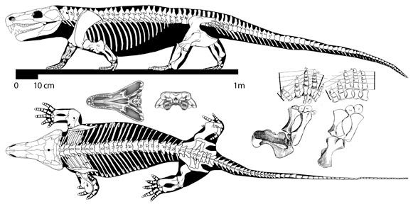 Картинки по запросу Лимносцелис скелет
