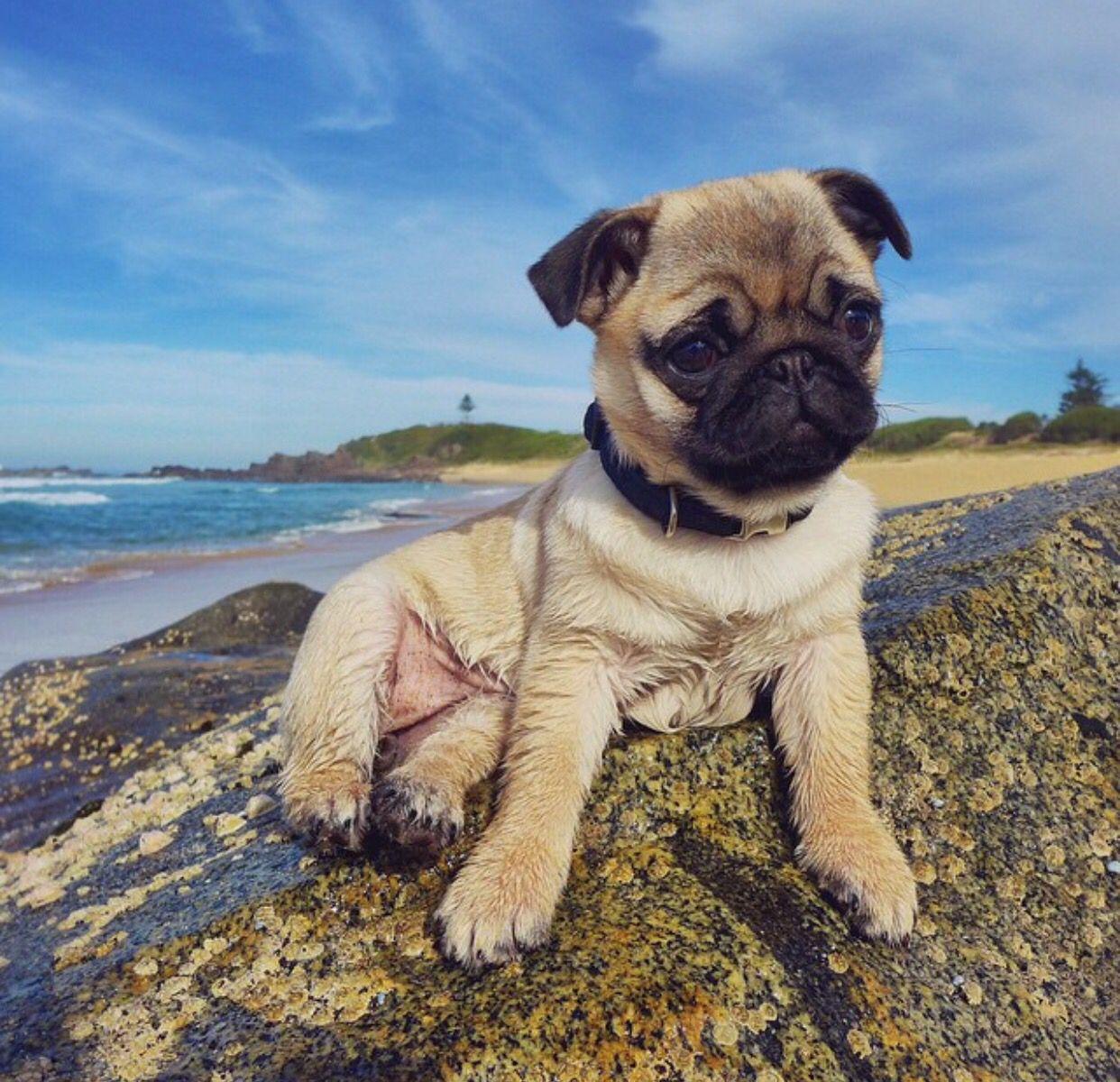 Beach Pug Pugs