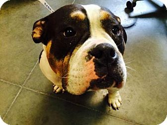 Santa Cruz, CA - English Bulldog Mix. Meet PUMPKIN*, a dog for adoption. http://www.adoptapet.com/pet/12409481-santa-cruz-california-english-bulldog-mix