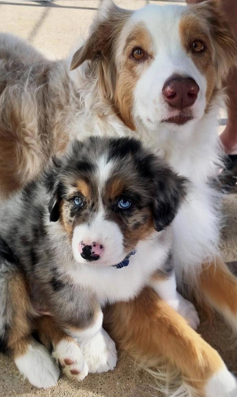 Pin By Petsochic On Australian Shepherds Beautiful Dogs Australian Shepherd Dogs