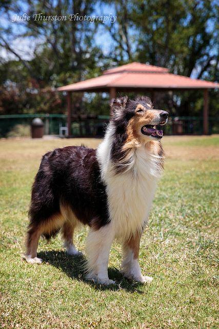 Collie Club of Hawaii , Oahu 11 Shetland sheepdog