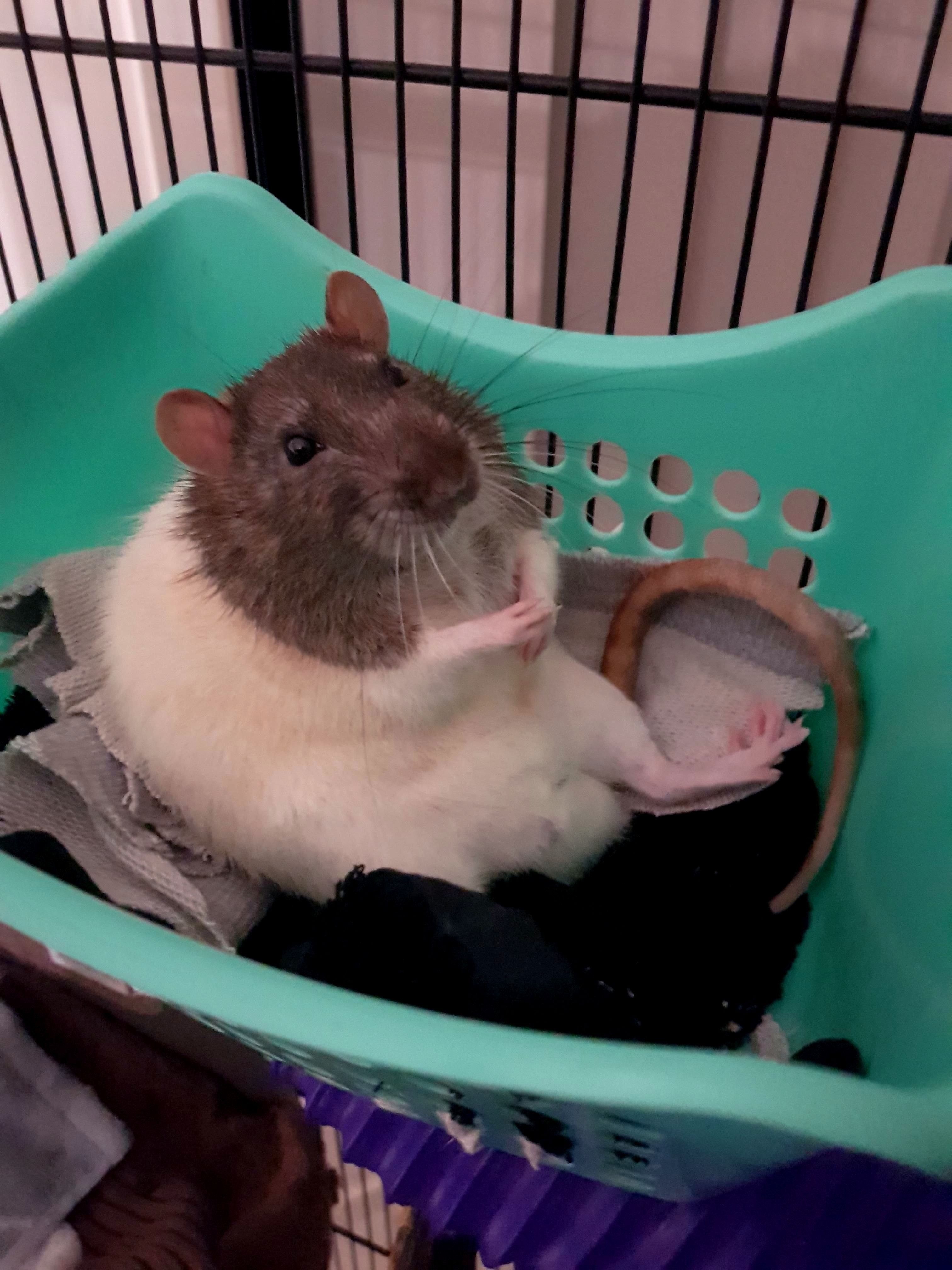 How Sweet Daily Cutest Posts Follow Me For More Posts Best Pictures Fo Rat Rats Designer And Crea Pet Rodents Cute Rats Pet Rats
