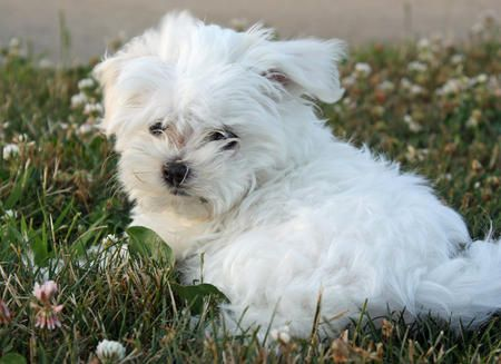 Rikki Tikki Tavi The Maltese The 9 16 11 Daily Puppy Another One