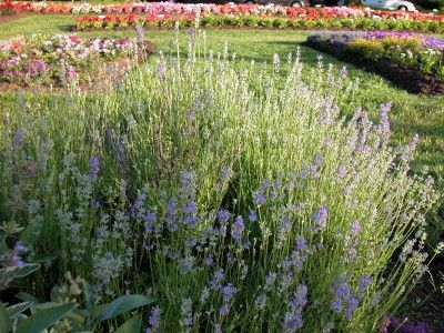 Homegrown Mailbag Growing Lavender In Zone 4 Martha Living Radio The Blog
