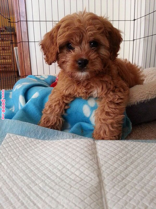 Pin By Penny Turgeon On Dogs Cute Little Puppies Cavapoo