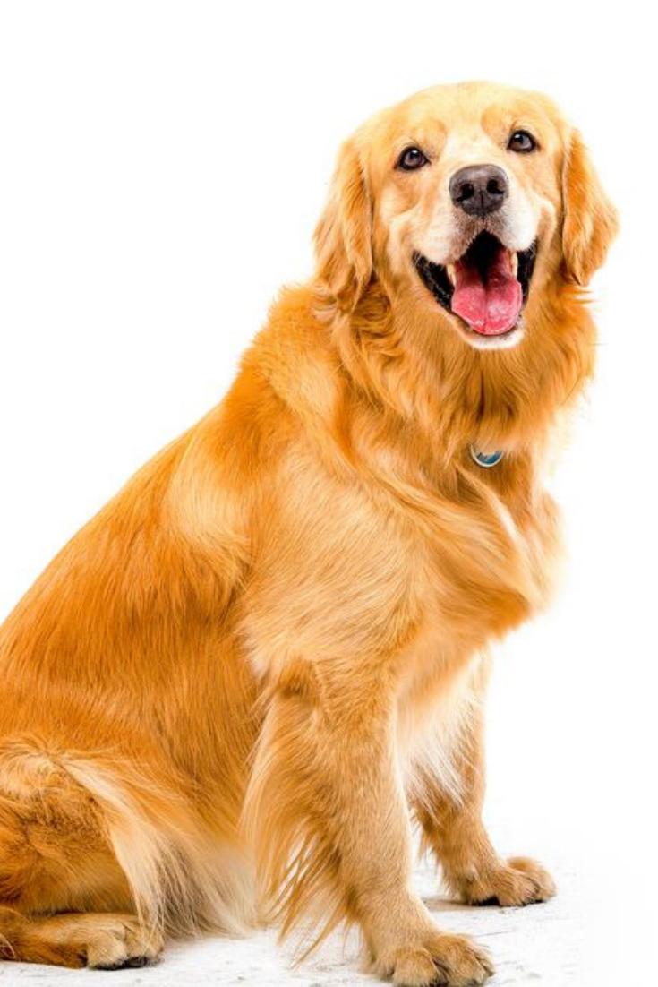 White Background Shot Golden Dog Goldenretriever Golden Retriever Golden Dog Dogs