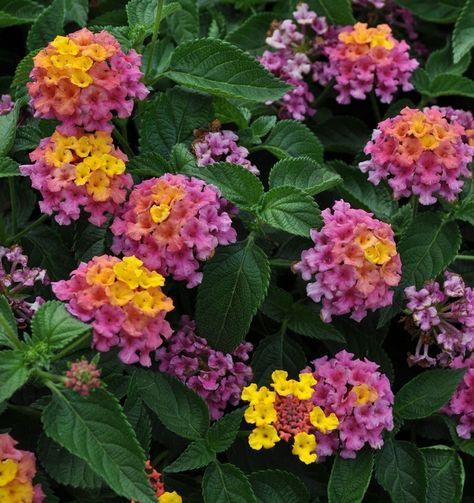 Bandana 174 Rose Improved Lantana Annual Flowers