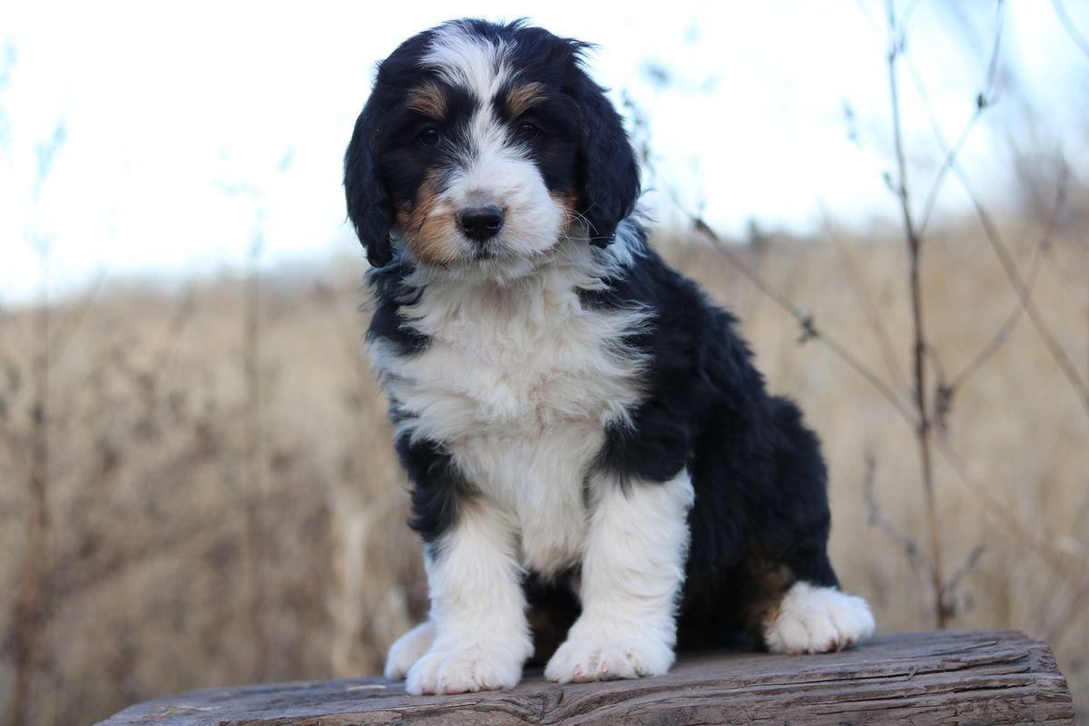 Standard Bernedoodle Breeder Standard Bernedoodle Puppies For