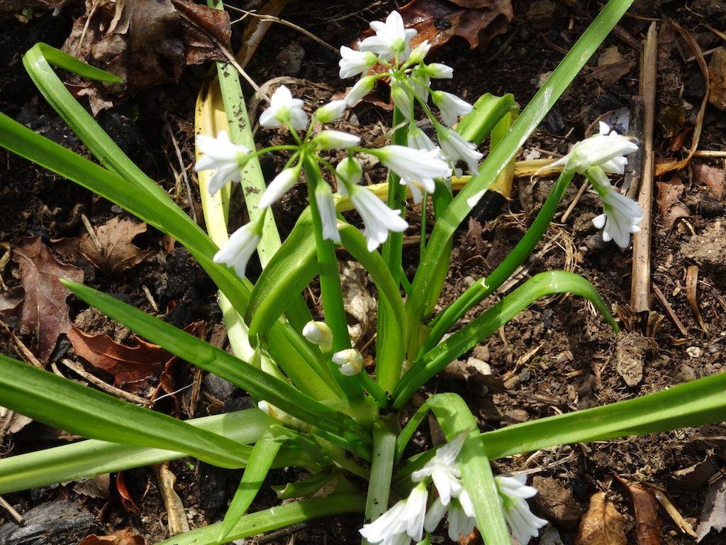 Wild garlic or 3-cornered leek. Alho-bravo ou alho ... Leek Companion Plants