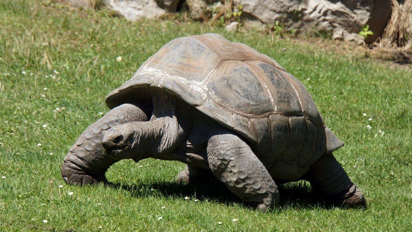 Aldabra Schildkrote Adwaita 256 Jahre Die Aldabra Riesenschildkrote Ist Die Letzte Lebende Vertreterin Der Tiere Griechische Landschildkrote Landschildkroten