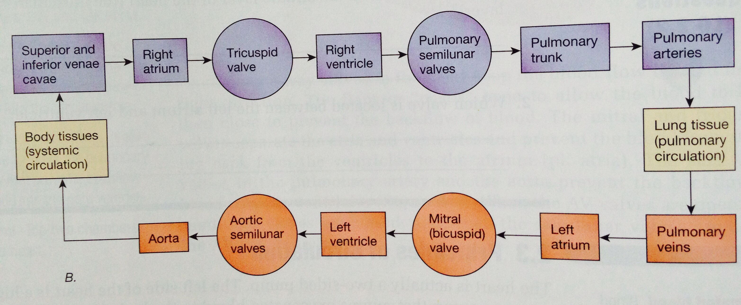 Very Simple Diagram Showing The Pathway Of Blood Through