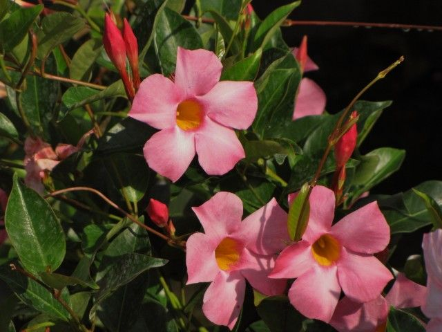 Tropic Escape Secrets Of Sun Parasol Mandevilla Pretty Pink