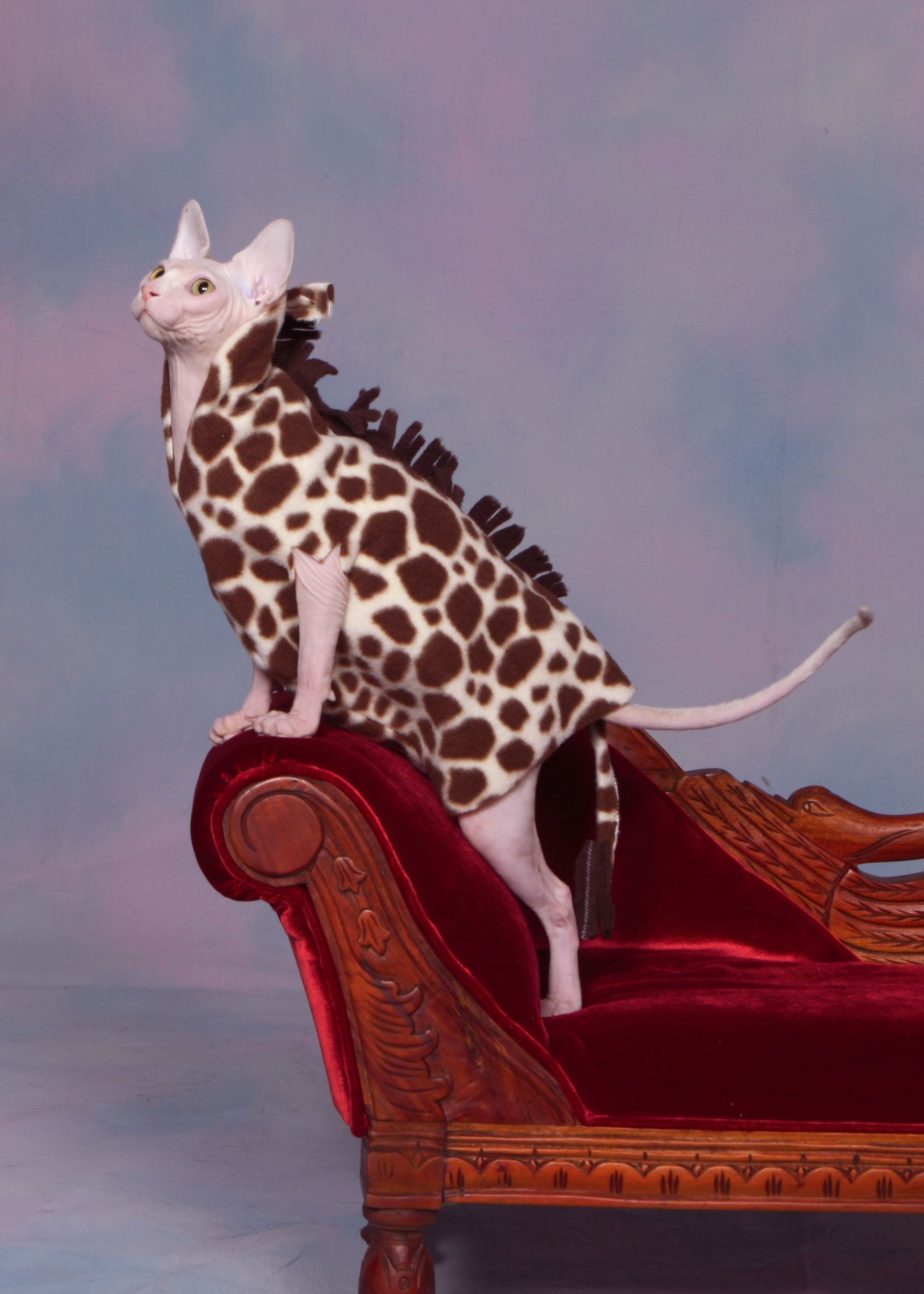 Pinky In Her Giraffe Outfit Thanks To Airie Mccready Sphynx Cat Sphynx Cat Clothes Cat Sweaters