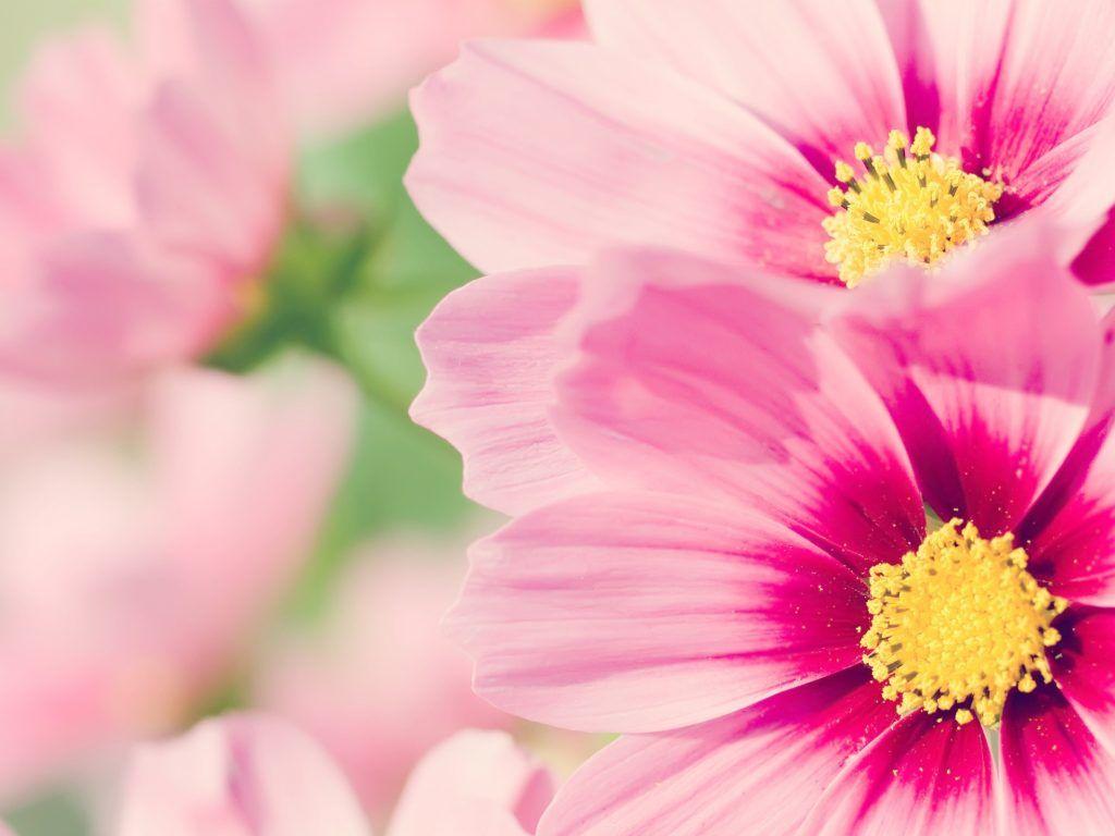 20 خلفية زهور رائعة عالية الدقة مجانا مداد الجليد Beautiful Flowers Wallpapers Pink Flowers Wallpaper Wallpaper Nature Flowers