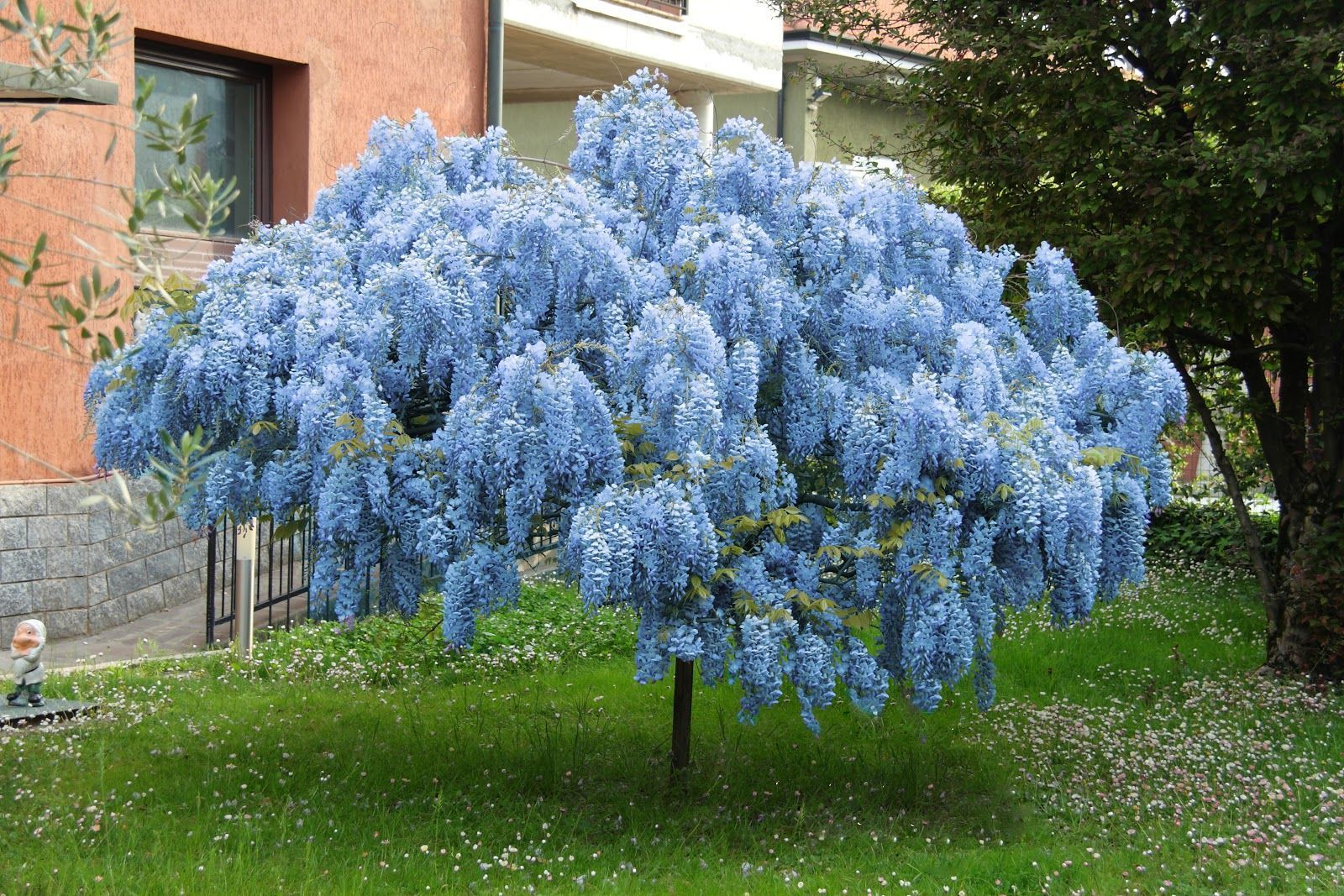 Blue Chinese Wisteria Tree In 2020 Wisteria Tree Garden Shrubs Flower Landscape