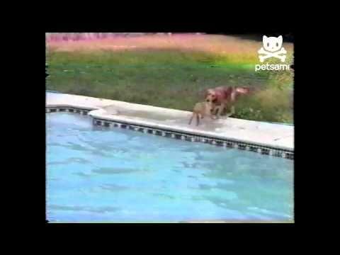 Pois é, o instinto materno é fantástico.  O filhote desta Golden Retriever caiu na piscina, mas não conseguia sair. Sua mãe pulou na água para salvá-lo e quando viu que não dava saiu e puxou o filhote para fora e levou para longe, talvez ela já conhecesse bem o filhote que tinha e optou por uma boa margem de segurança...  Enjoy!