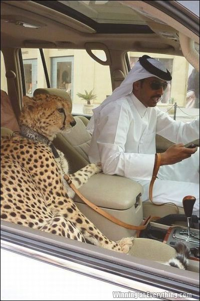 Riding shotgun,  cheetah, Arab, Saudi Arabian man, cheetah in a car