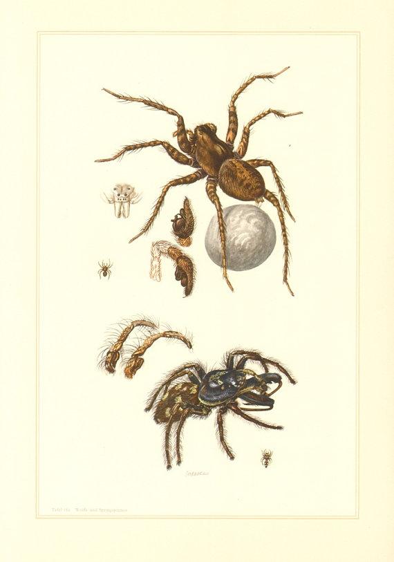 1956 Wolf Spider Pardosa Hortensis And Zebra Spider Salticus