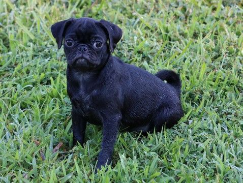 Pug Puppy For Sale In Clements Md Adn 42544 On Puppyfinder Com