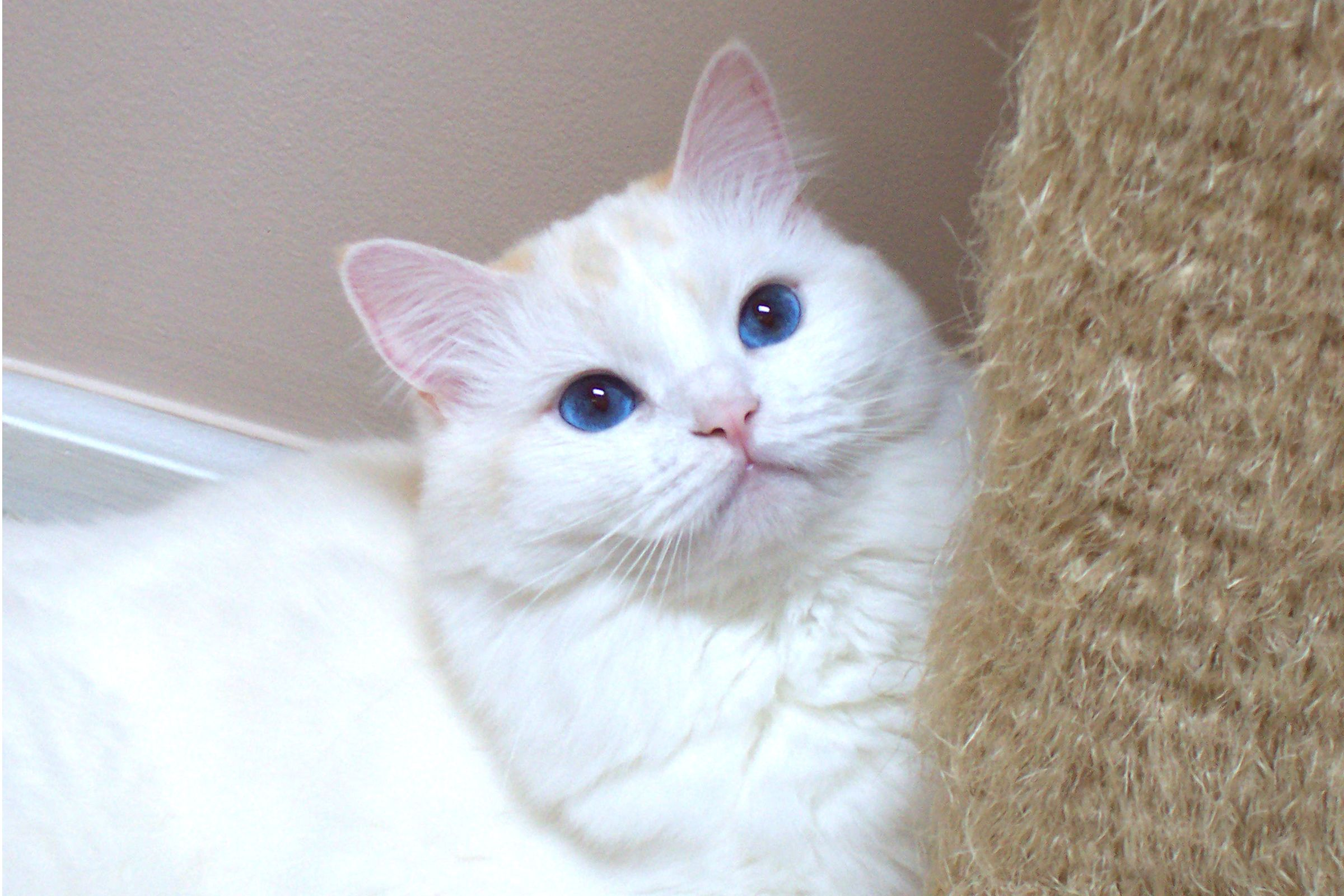 Ragamuffin Kittens For Sale In Texas