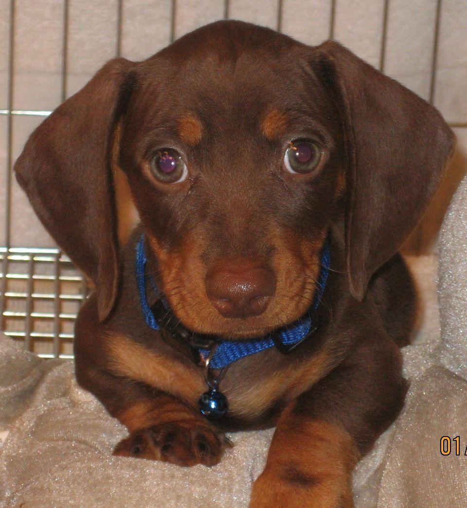 Chocolate Tan Weiner dog, Weenie dogs, Doxie puppies