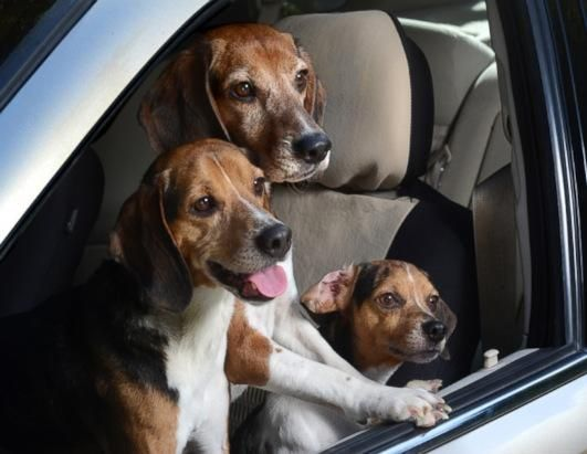 Photos Happy Dogs Hanging Out Of Cars Dogs Dog Car Happy Dogs