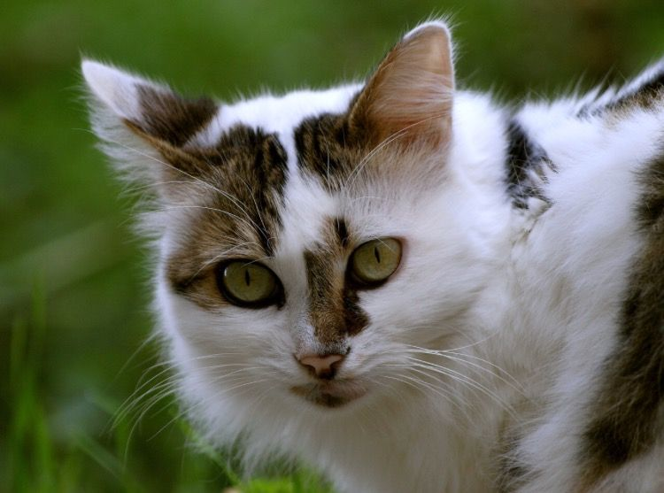 White and brown mottled tabby with green eyes White