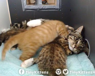 Feral Rescued Tomcat Becomes Nursing Dad To Rescued Kittens Kittens Cats Kitten Love