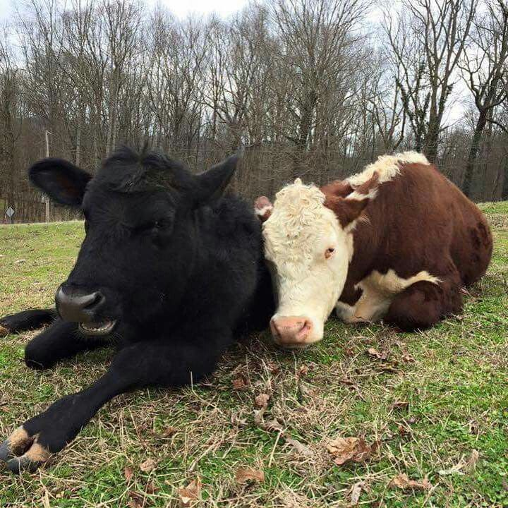 Dudley and Destiny (With images) Happy cow, Cute animals
