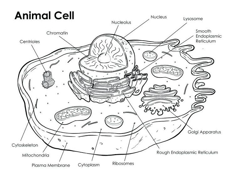 Animal Cell Coloring Page Answers Biologiya Anatomiya Zhivotnye