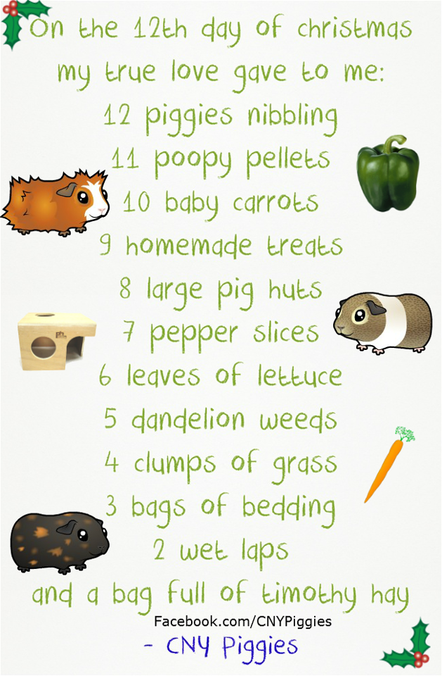 Pin On Guinea Pigs To Love