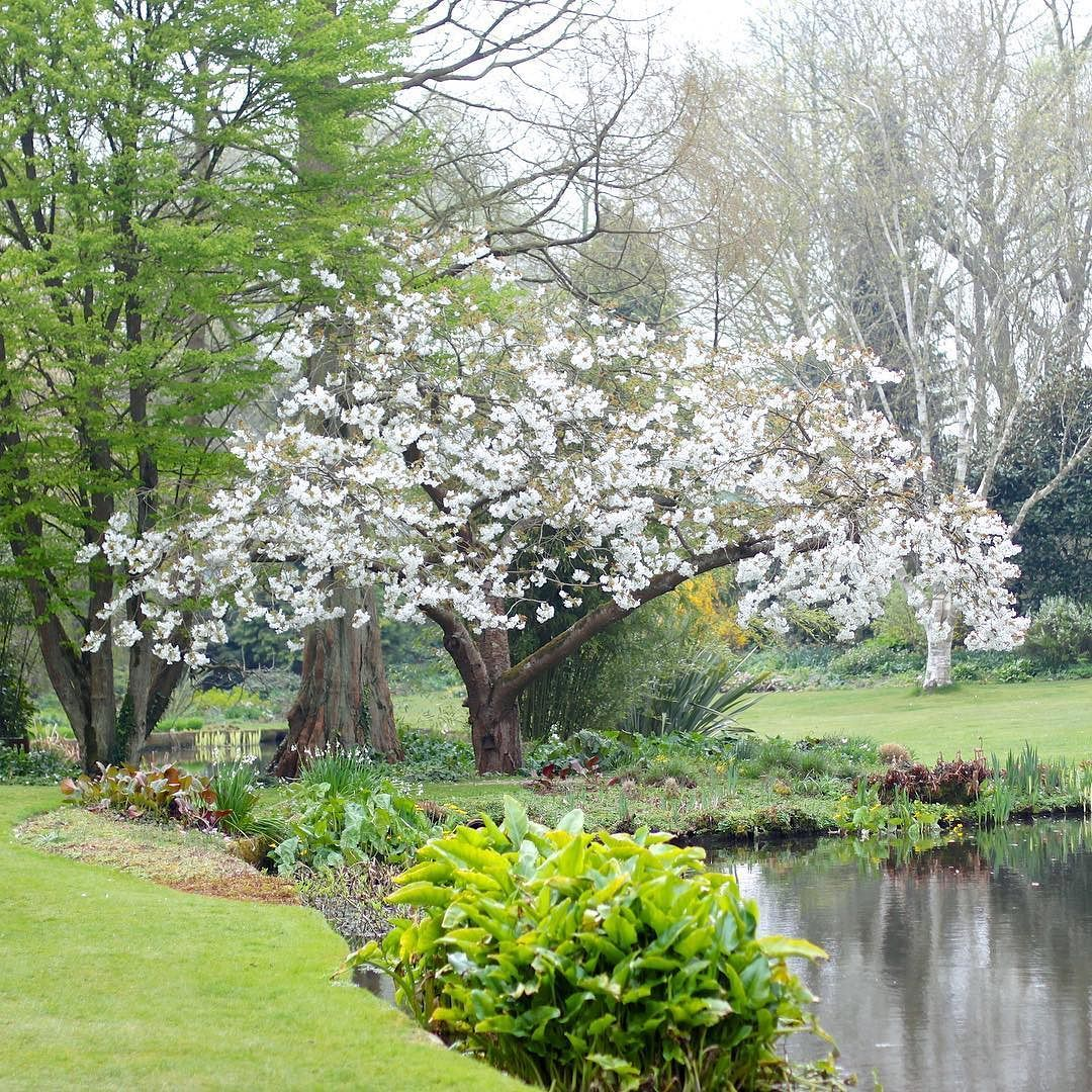 The Great White Cherry Tai Haku At Bethchattogardens Last Spring I Have A Baby One Of These Beautiful Blossom Trees Blossom Trees Yard Landscaping Garden S