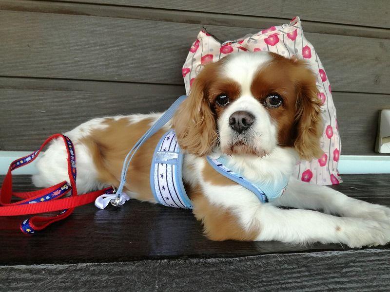 犬連れ旅行 おでかけ おすすめ 関東 千葉 しぶごえ館 まちろブログ 犬 キャバリア おでかけ