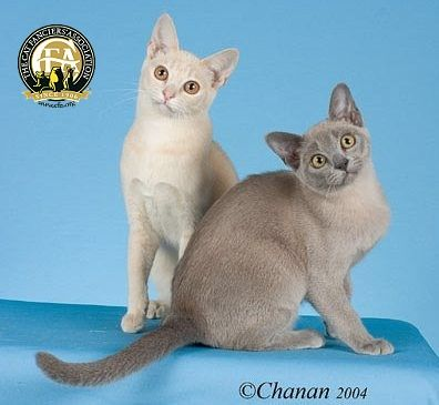 The European Burmese And The Burmese We Know In North America Originated From The Same Source Wong Mau The First Bu European Burmese Burmese Cat Cat Breeder