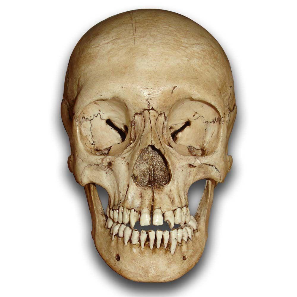 Skull Png Skull Png Images Png