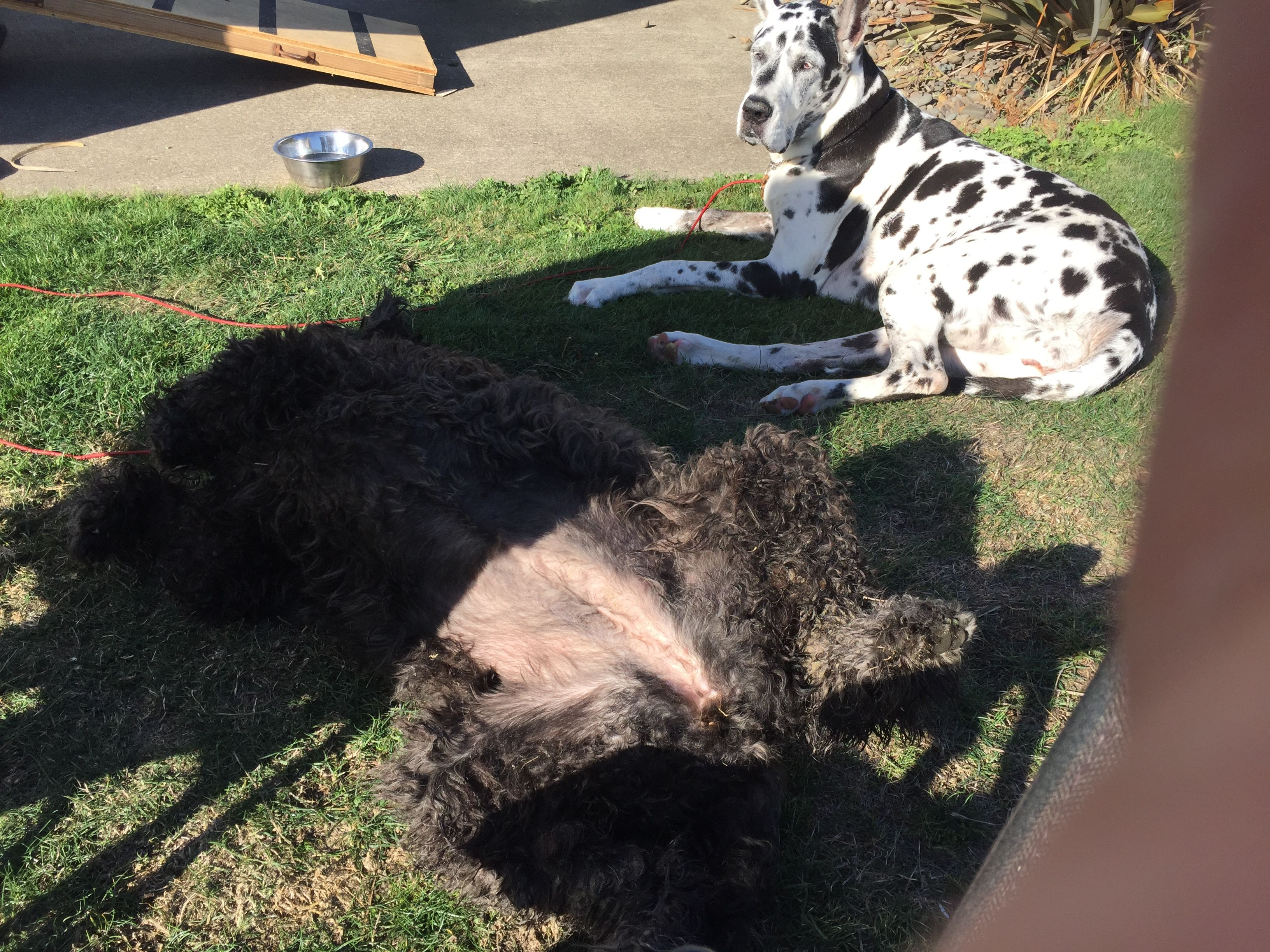 Sophie The Newfiepoo Sunbathing With Pal Great Dane Maggie Moo At