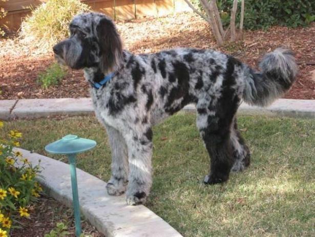 Aussiedoodle Australian Shepherd Poodle Best Dog Toys