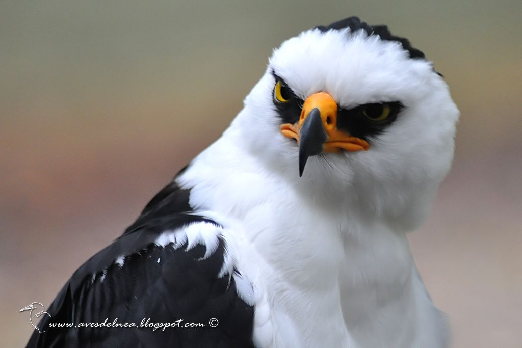 Águila viuda (Black-and-white Hawk-Eagle) Spizastur melanoleucus by Roberto Genesini