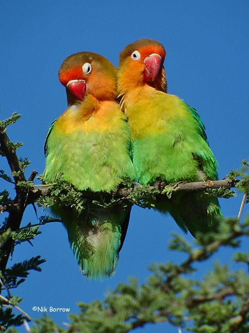 Fischer S Lovebird Love Birds Beautiful Birds Parrot