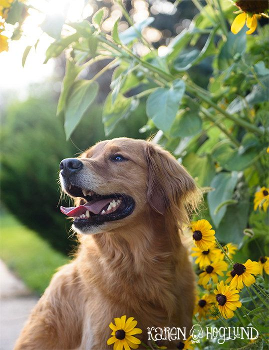 Golden Retriever Sunflower Blank Cards By Karenhoglund On Etsy