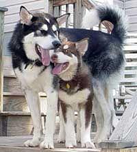 Alaskan Malamute Compared To A Husky Malamute Alaskan Malamute