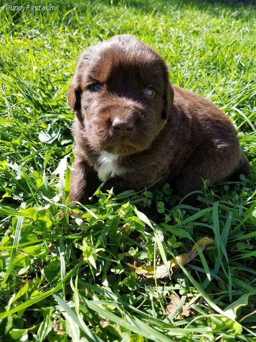 Newfoundland Puppy For Sale In Radcliffe Ia Adn 47125 On