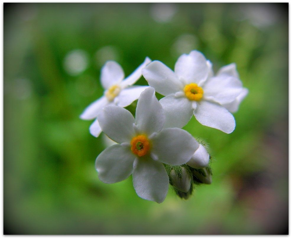 White Forget Me Nots Wedding Pinterest Forget And Wedding
