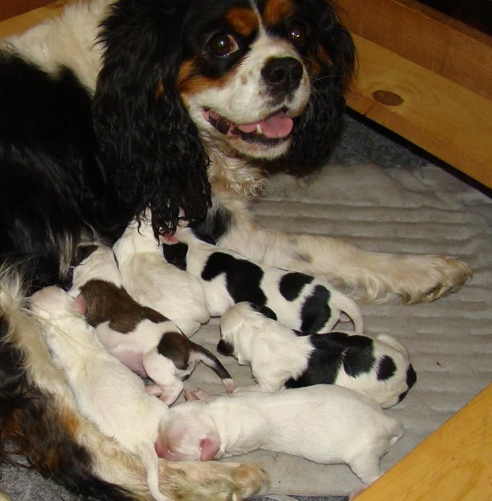 New Born Cavachon The Pure All White One Is Like Our Lil Taffy She S 3 Years Old And Only Weighs 8 Lbs Cavachon Cavalier King Charles Puppies