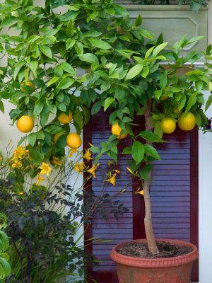 Grow In Pots Citrus Trees Hgtvgardens Plants Citrus Trees Potted Trees