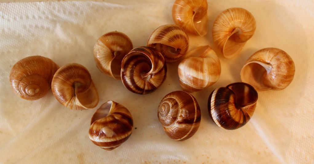 escargot shells after we ate. Cleaned, ready for display